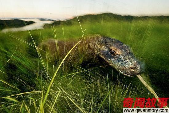 真正的龙族裔:探秘世界最大蜥蜴科莫多龙!
